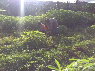Mom and grandma harvesting camote crops