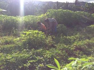 Mom and grandma harvesting camote crops